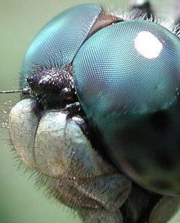 Index - Tech-Tudomány - Leonardo látta a szitakötő szárnyának lebbenését is