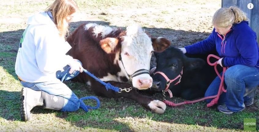 tehenek látása akupunktúra a látáshoz