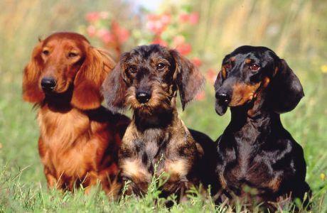 kutyak01 - Képgaléria - tacskók - tacskók