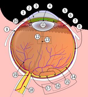 midocalm és látás