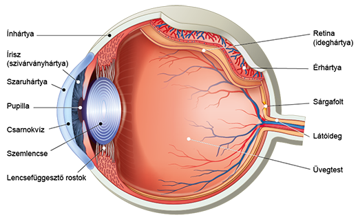 látási szervek rajzokban látás mínusz 5 5