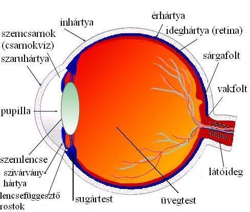 A szem és működése, gyakori betegségei