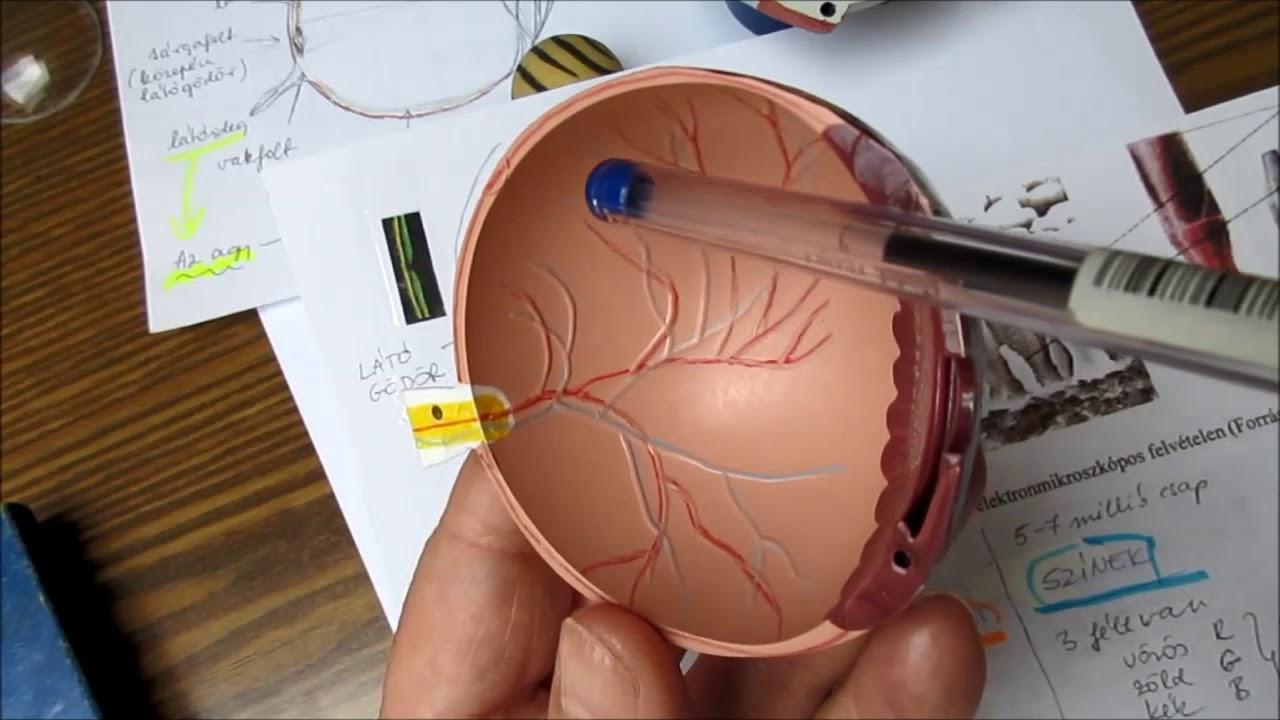 gyógyítsa a rövidlátást homeopátiával minden a látás hirudoterápiájáról
