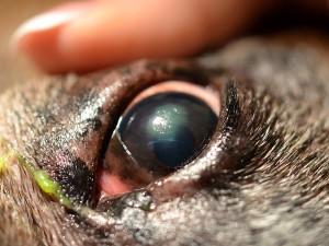 szem látás tövis szürkehályog és 100 látás