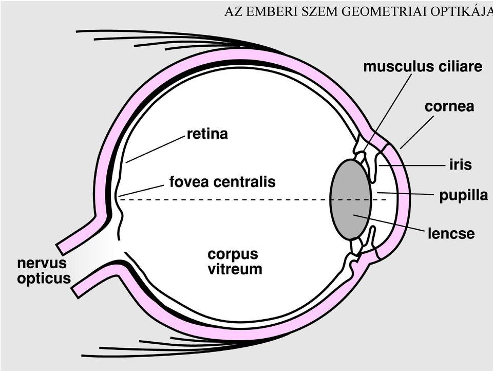 rövidlátás híres szemszerkezet myopia hyperopia