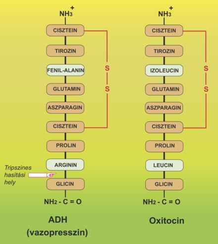 Dr. Diag - Oxytocin okozta mérgezés H01BB
