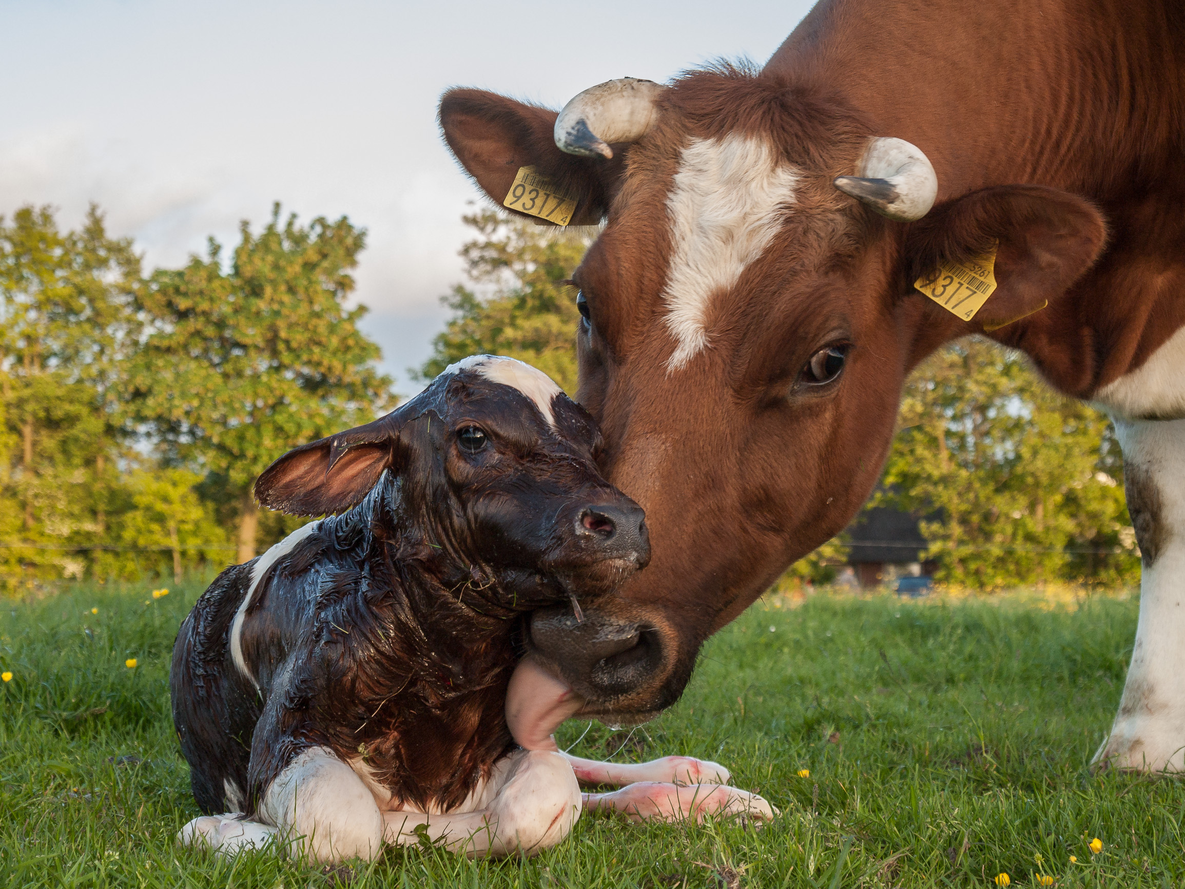 tehenek és látás