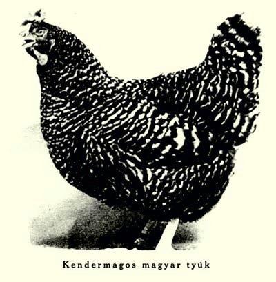 miért veszítik el a csirkék a szemüket